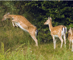 there are almost 100 sika deers in the deer park and these beautiful whitish dotted animals are the smallest of all the deers in the park